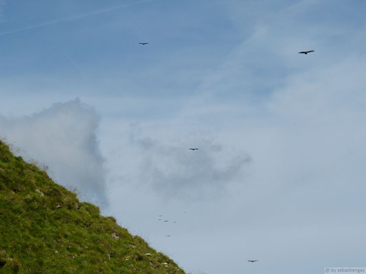 Groupe de Vautours fauves à la tête de pacaly (Aravis)