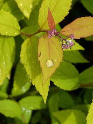 Perles de rosée sur une feuille de Spirée