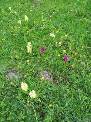 Champs d'Orchidées sauvages