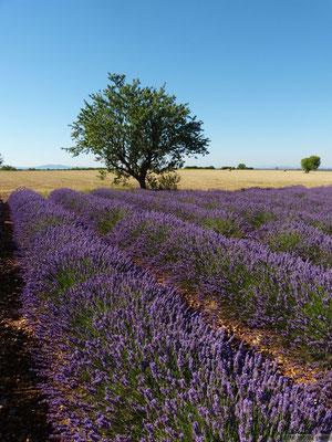 Champs de lavandes (Plateau de Valensole)