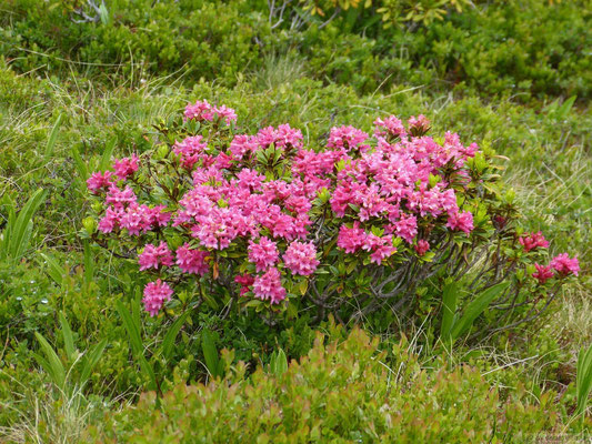 Rhododendron sauvage