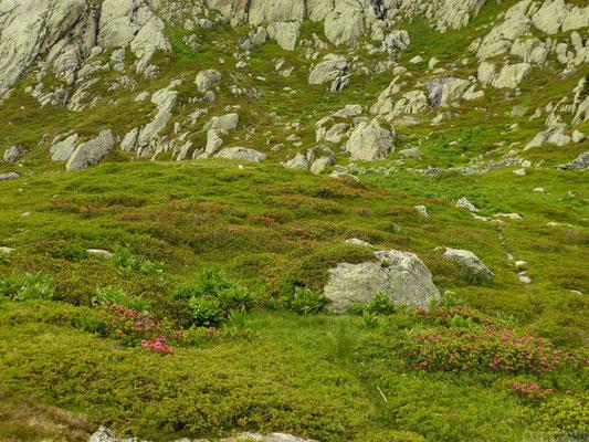 Champs de Rhododendron en monatnt au lac blanc