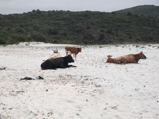 Les fameuses vaches sauvages du désert des Agriates