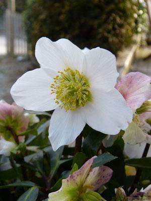 Hellébore (Rose de Noel)