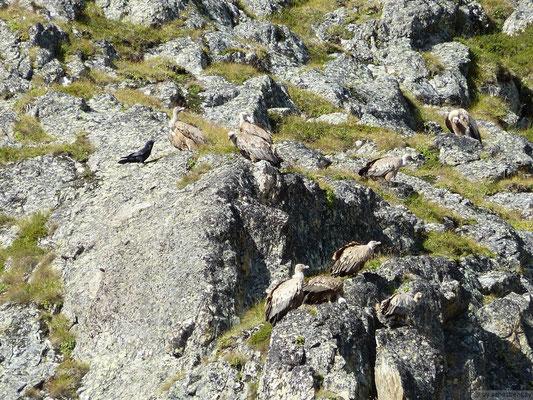 Groupe de Vautours fauves dans l'Oisan