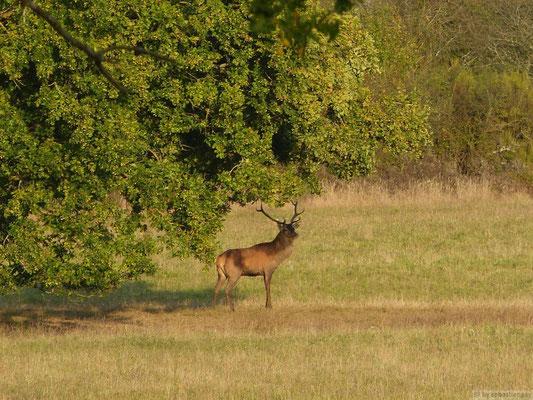Cerf dans la forêt de Chambord (pendant la période du Brame)