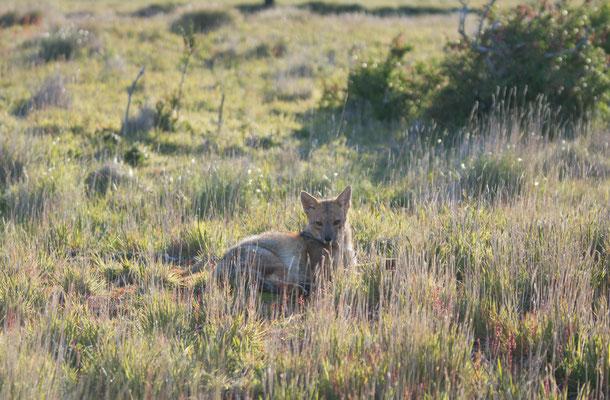 Fuchs und Hase begrüßen sich am Morgen im Camp.