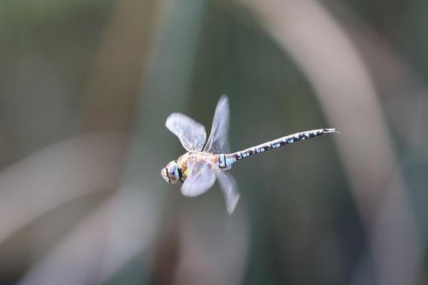 Blaugrüne Mosaikjungfer (Aeshna cyanea)