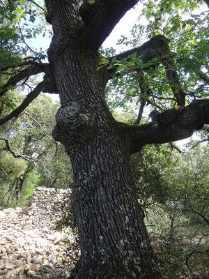"""Câline, le """"chat de chantier"""" de Luberon Patrimoine en embuscade sur une branche de chêne séculaire"""
