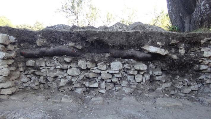 Deuxième cause du désordre recensé : l'un des racines de l'amandier qui surplombe le mur a affaibli le parement