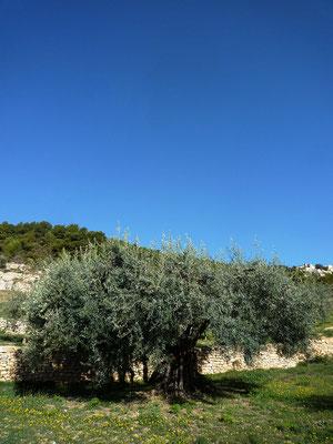 Un des oliviers centenaire de l'Abbaye qui a échappé à la vague de gel de février 1956 où il a fait jusqu'à - 20° C à Aix en Provence