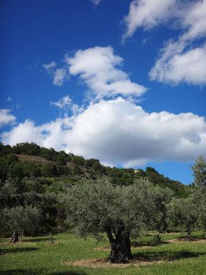 Une des oliveraies de Lurs,  toute proche du chantier