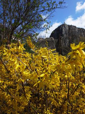 Les genets en fleur annoncent le printemps