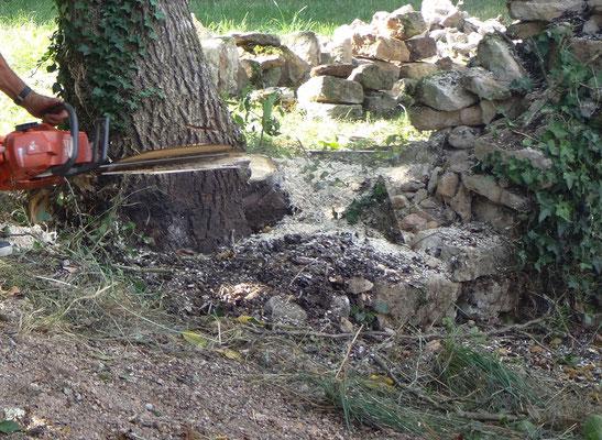 La difficulté réside dans les petites pierres qui se sont incrustées dans les racines du sujet. Les affutages de chaîne seront fréquents