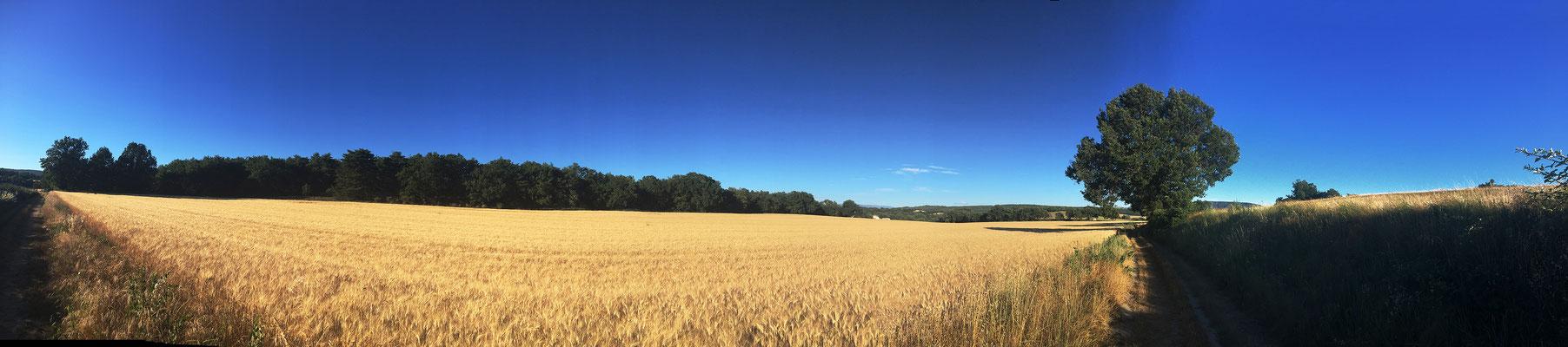 Champs de blé à proximité des bois de Pouvarel