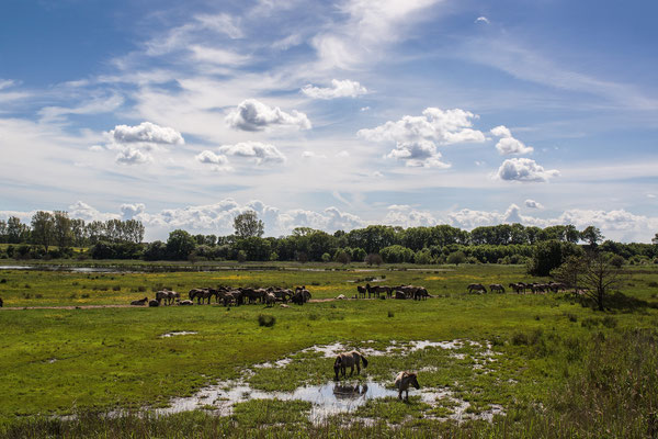 Wildpferde auf der Birk