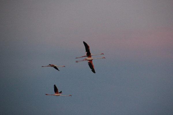 Flamingos fliegen schlafen