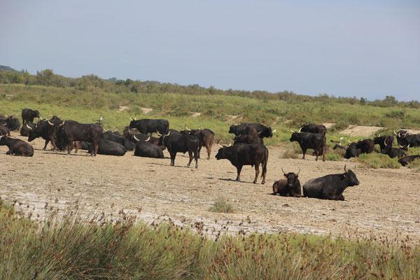 schwarze Stiere in der Camargue