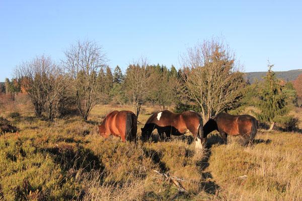 Pferde im Herbstlicht