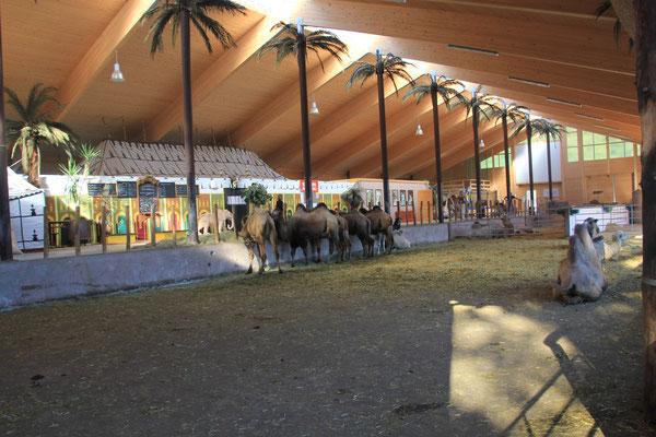 Daerrtreffen mit den Kamelen