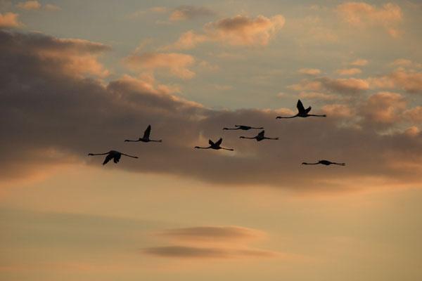 fliegende Falmingos am Abend am Standplatz