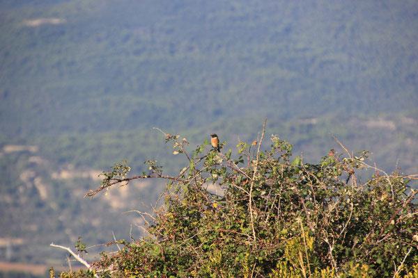 Vogel am Standplatz  Castillo Mauricello