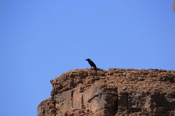 Bergdohle auf dem Tafelberg