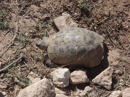 Schildkröte am Strassenrand