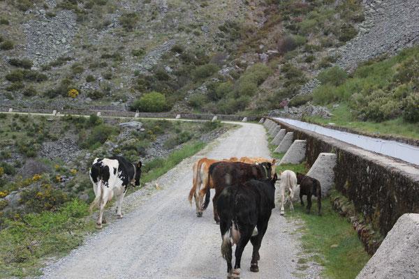 Kuhherde auf der einsamen Bergstrasse, Sierra Estrella