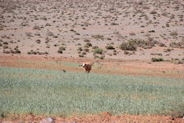 Mufflon auf dem Acker in der Wüste