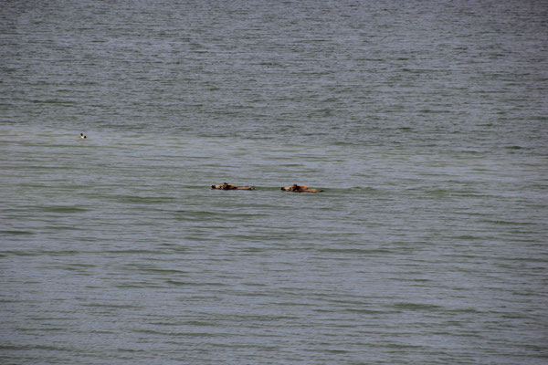 schwimmende Wildscheine, Embalse de Esperanza