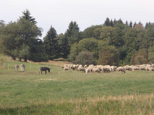 Esel als Schafbewacher
