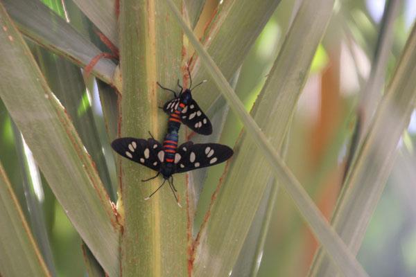 Schmetterlinge, Oasengarten Imouzlag
