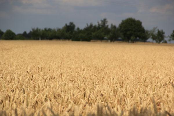 Getreidefeld bei Ellwangen an der Jagst