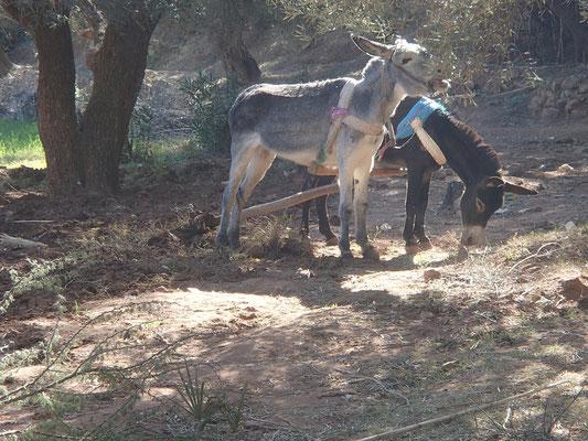 Eselwirtschaft Ouzoud