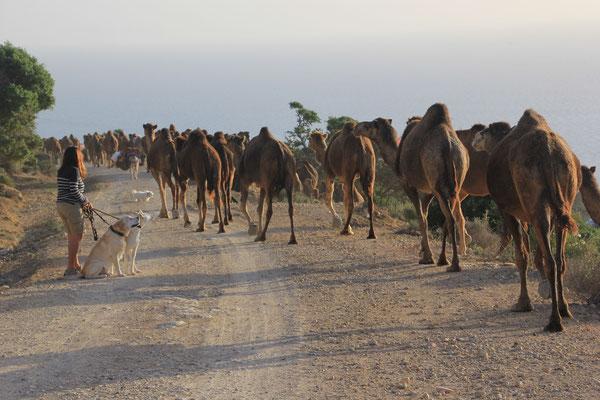 Kamelherde auf der Durchreise Nähe terre de ocean