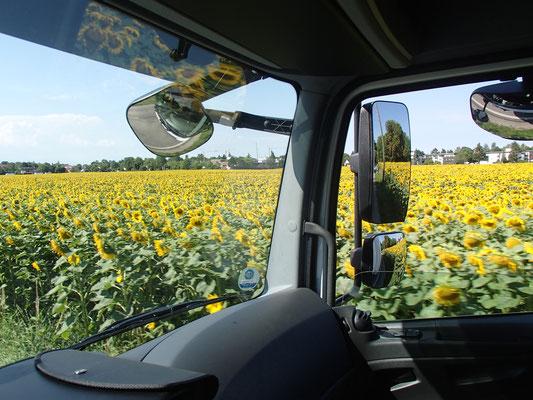 Sonnenblumenfeld auf der Fahrstrecke