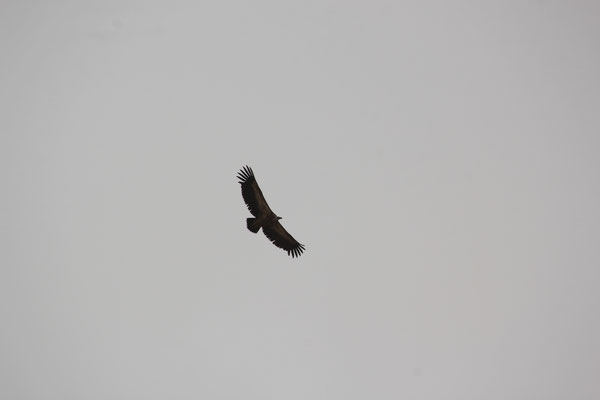 Adler über der Oase