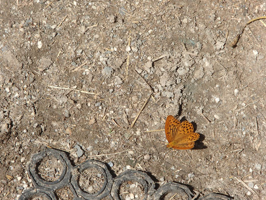 Schmetterling auf Reitplatz
