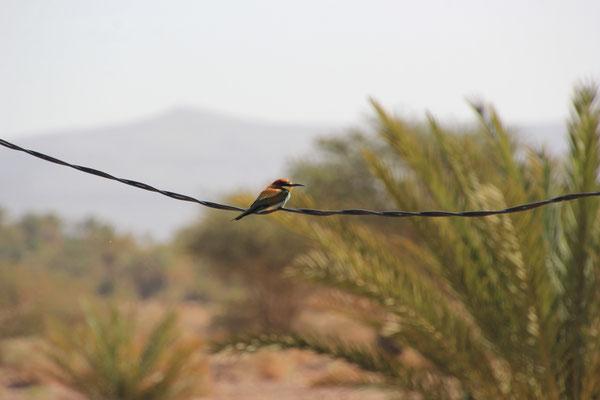 bunter Haus-Oasenvogel