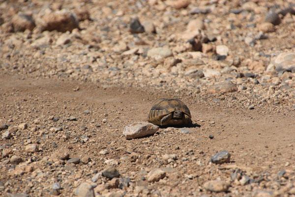 Schildkröte auf Piste Richt. Cirque de Jaffer