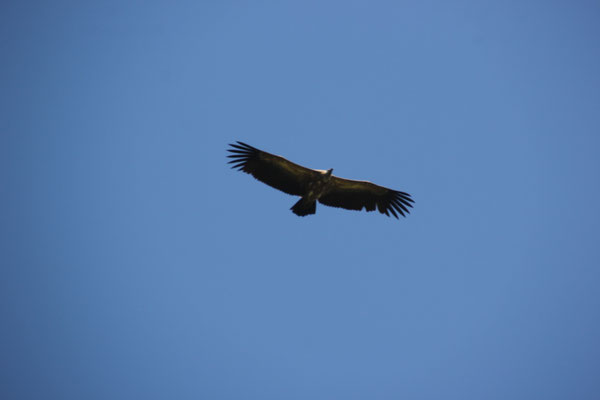 Adler am Picknikplatz