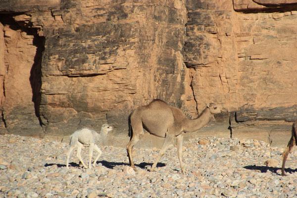 Kamele, Piste Richtung Ait Mansour