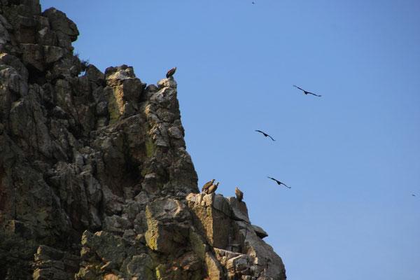 Geier im NP Montefragüe