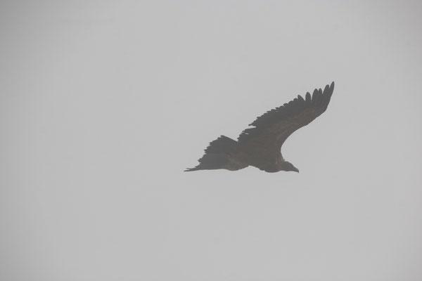 Adler im Nebel