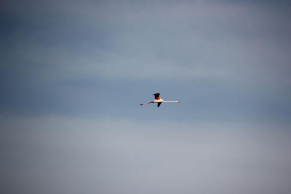 vorbeifliegender Flamingo am Standplatz,Camargue