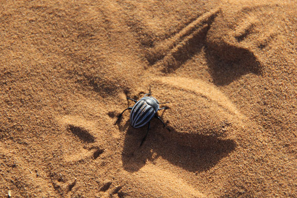 Sandkäfer