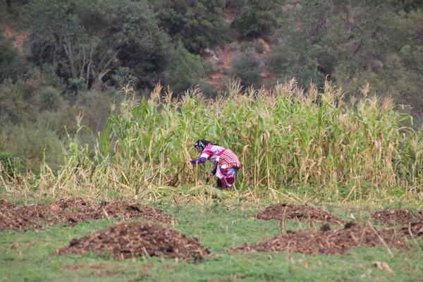 Frau beim Futter schneiden für Kuh