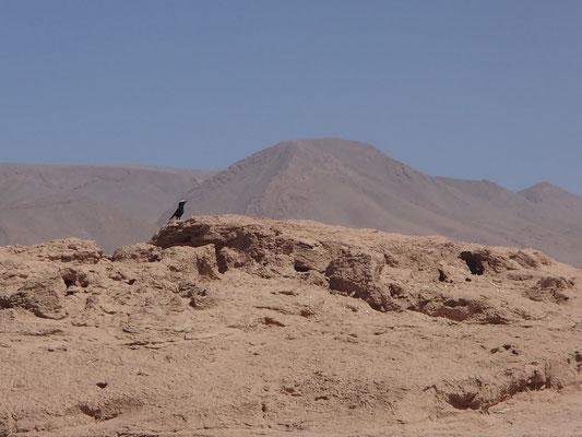 Vogelbegleitung 3. Stpl. Oued Draa, Piste Richt. Assa