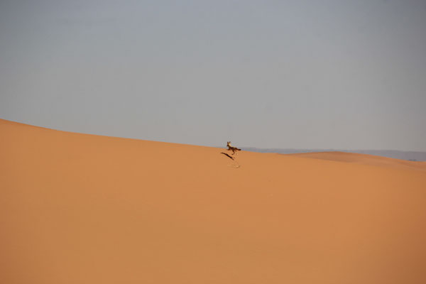 Wüstenfuchs, Erg Znuig